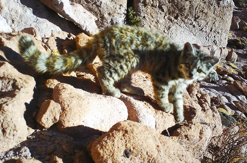 El gato andino, uno de los gatos más raros del mundo