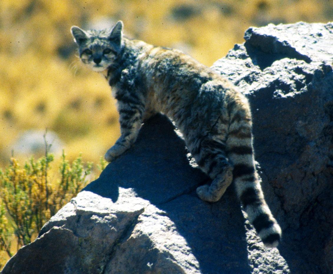 El gato andino es uno de los felinos más amenazados del planeta. /Wikipedia