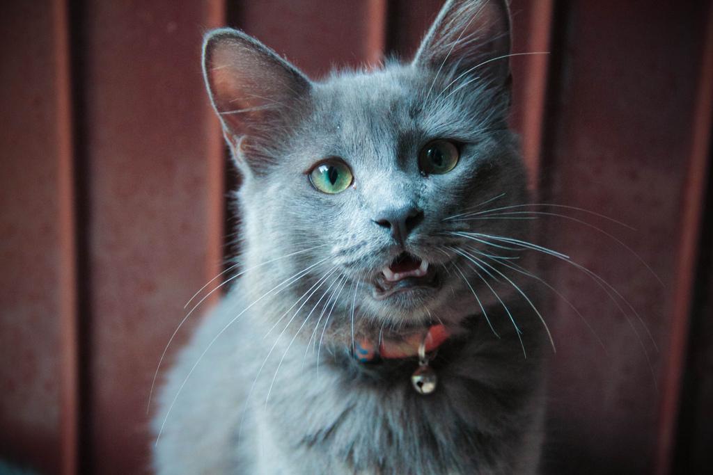 """Ssshhhhh: ¡gatos al habla! """"Los gatos modernos también sufren estrés, y este no es un problema menor: es causa frecuente de problemas de salud y agresividad mal entendida. / Foto. clarissa rossarola"""