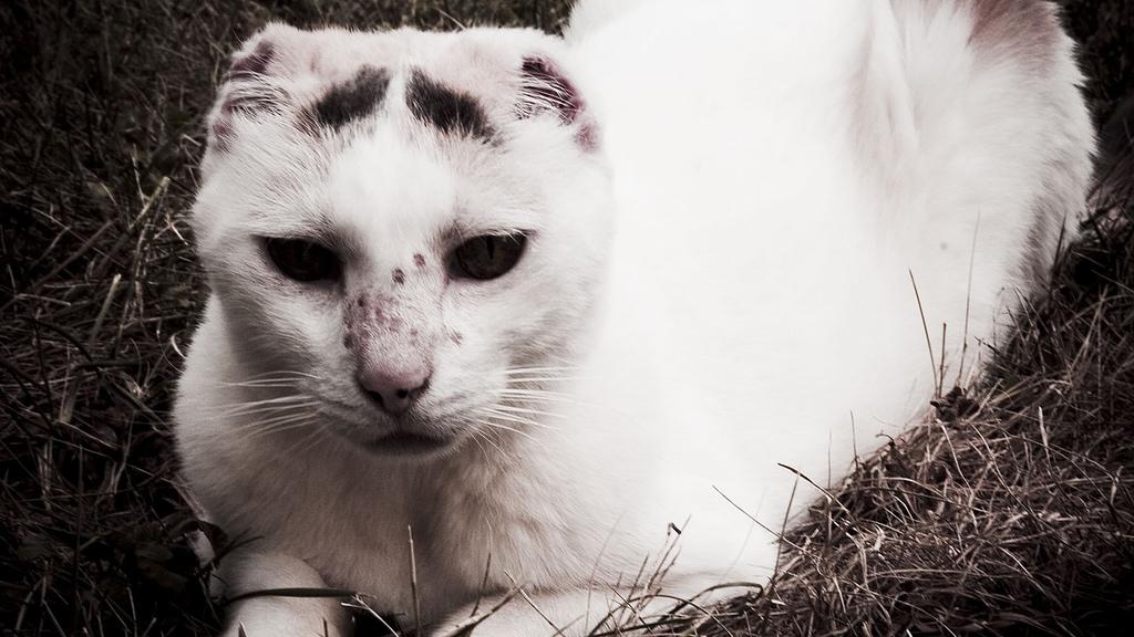 gatos-cancer-piel