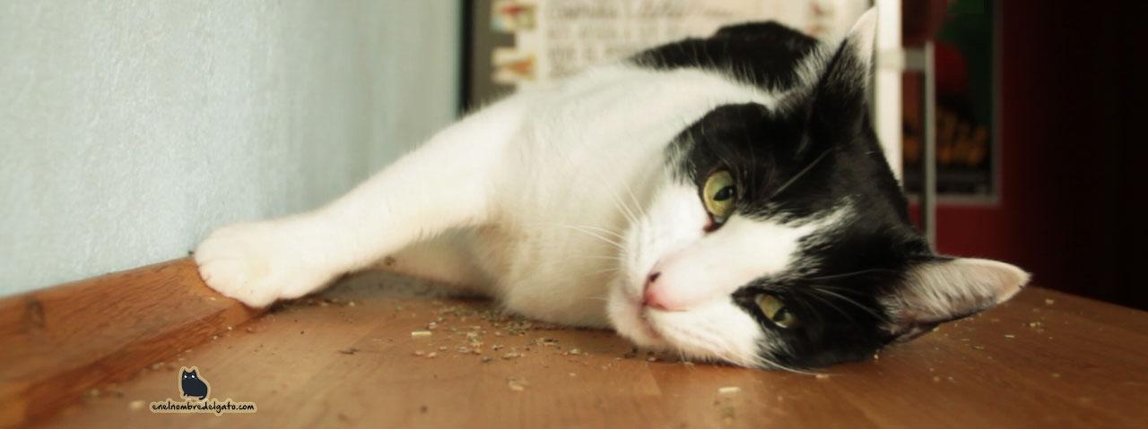catnip-gatos-por-que-les-gusta-2