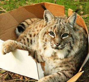 ¿A los gatos grandes también les gustan las cajas?