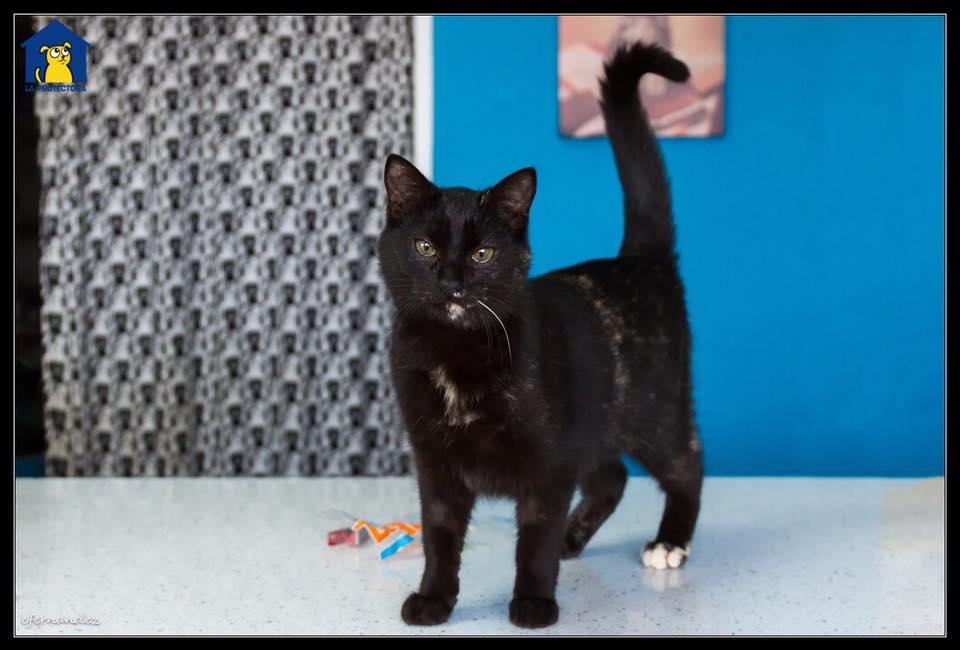Esta es Kate, tiene 7 meses y es una de las gatitas que esperan un hogar en La Protectora. ¿Es o no es una gatita purrrrrfecta?