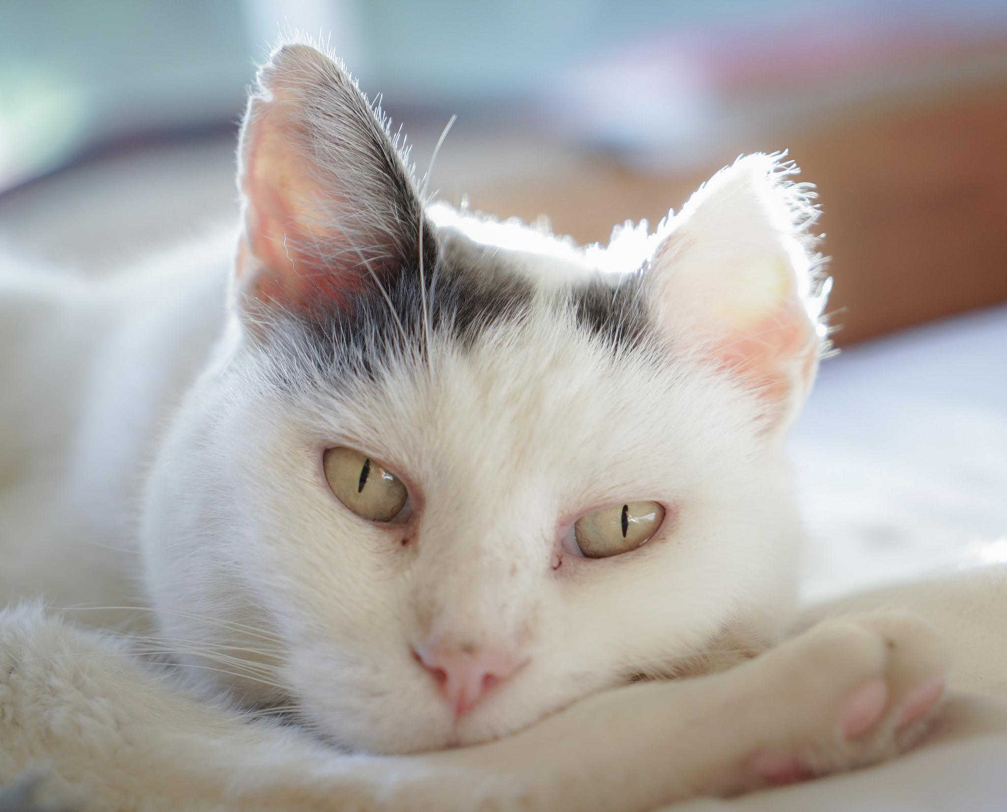 Manchas en las orejas del gato