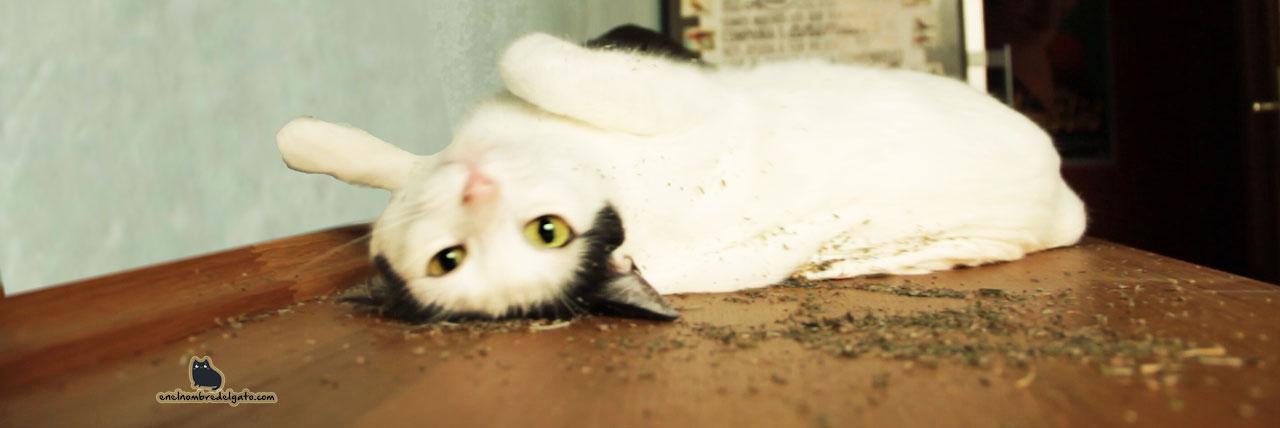 catnip gatos